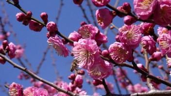 名古屋城の梅花3
