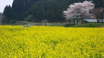 川渡温泉の菜の花